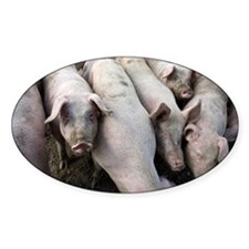 Pigs - Decal