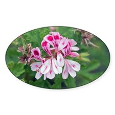 Pelargonium 'Fair Ellen' - Decal