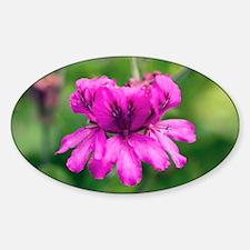 Pelargonium cucullatum - Decal