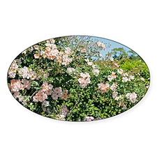 Rose (Rosa 'Debutante') - Decal