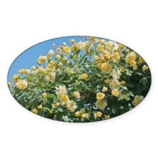 Rose (Rosa 'Goldfinch') - Decal