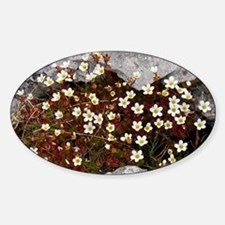 Saxifraga rosacea ssp. rosacea - Decal