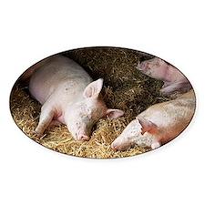 Sleeping pigs - Decal