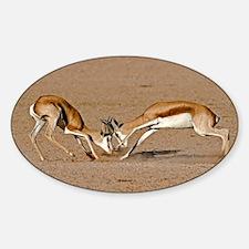 Springboks fighting - Sticker (Oval)