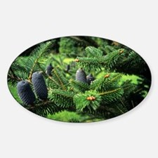 Bhutan fir (Abies densa) - Decal