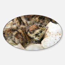 Black grouse chick - Decal