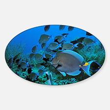 Blue tang surgeonfish - Decal