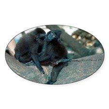 Captive crested black macaques - Decal