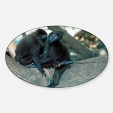 Captive crested black macaques - Sticker (Oval)