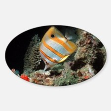 Copperbanded butterflyfish - Decal
