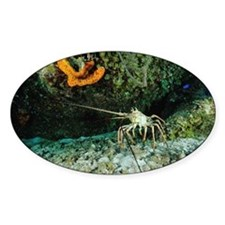 Caribbean spiny lobster - Decal