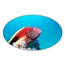Forster's hawkfish - Decal