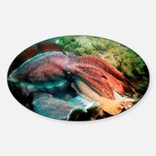 Giant cuttlefish males fighting - Sticker (Oval)