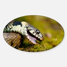 Grass snake feigning death - Decal