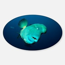 Humphead wrasse - Decal