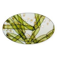een alga - Decal