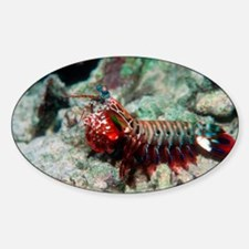 Mantis shrimp - Decal