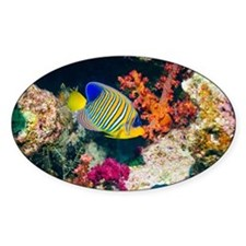 Regal angelfish - Decal