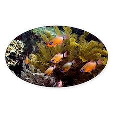 Ring-tailed cardinalfish - Decal