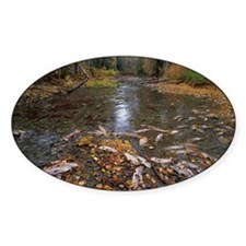 Sockeye salmon spawning - Decal