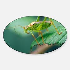 Speckled bush cricket - Sticker (Oval)