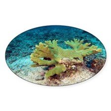 Single hard coral colony - Decal
