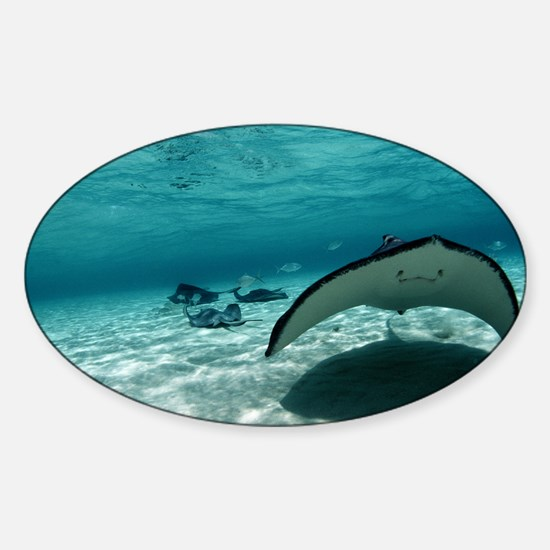 Southern stingray - Sticker (Oval)