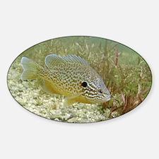 Sunfish hybrid - Decal