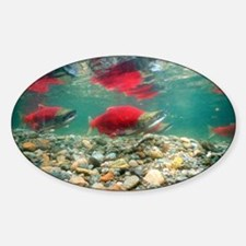 Spawning sockeye salmon - Decal