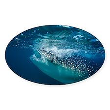 Whale shark filter feeding - Decal