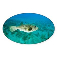 White-spotted pufferfish - Decal