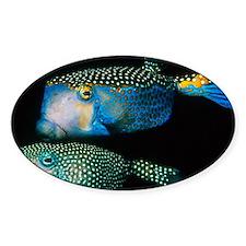 Whitespotted boxfish - Decal