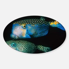Whitespotted boxfish - Sticker (Oval)