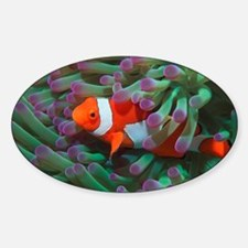 Western clown anemonefish - Decal