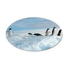 Adelie penguins - Oval Car Magnet