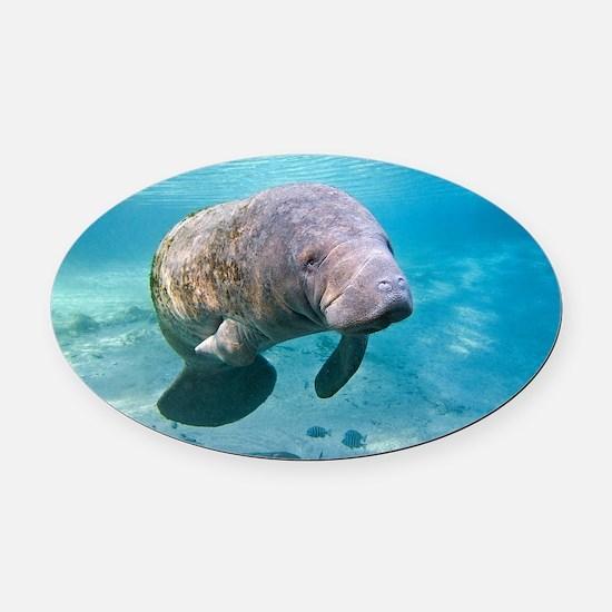 Florida manatee swimming - Oval Car Magnet
