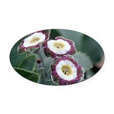 Show auricula 'Astolat' flowers - Oval Car Magnet