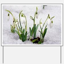Snowdrops (Galanthus nivalis) - Yard Sign