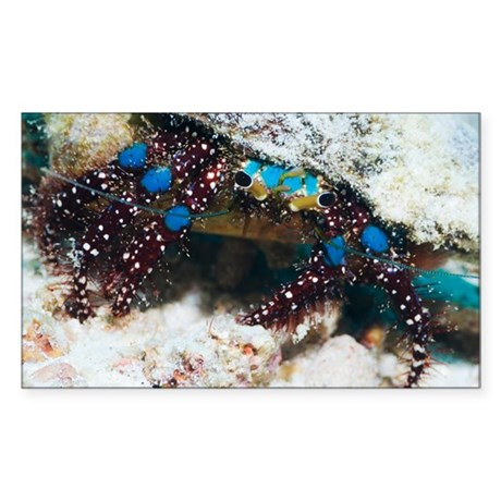 Blue-knee hermit crab - Sticker (Rectangle)