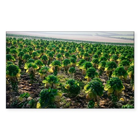 Field of Brussels sprouts - Sticker (Rectangle)