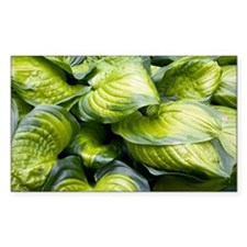 Hosta 'Stained Glass' - Decal