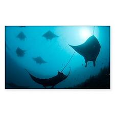 Manta rays - Decal