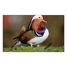 Male mandarin duck - Decal