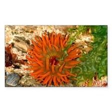 Beadlet anemone - Decal