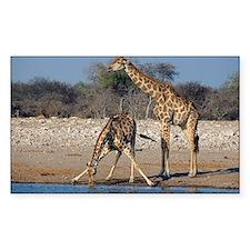 Giraffes - Decal