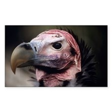 Lappet-faced vulture - Decal