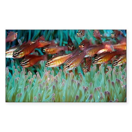 Moluccan cardinalfish - Sticker (Rectangle)
