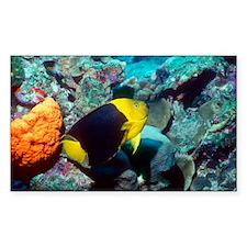 Rock beauty angelfish - Decal