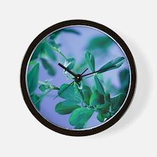 Alfalfa (Medicago sativa) - Wall Clock