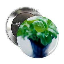 Basil plant - 2.25